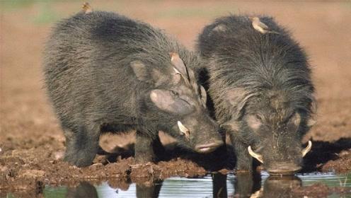 非洲草原上最凶悍的猪,见了狮子都敢单挑,除了人类外再无天敌?