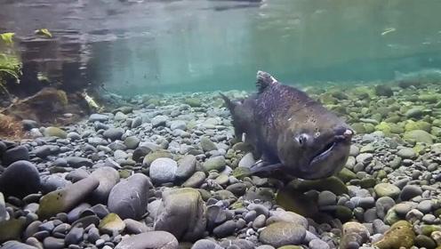 为什么鱼生活在水里还会被淹死?这可不是笑话专家说出原因