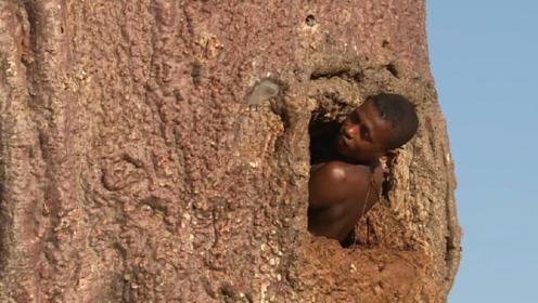 难怪非洲人不耕种,原来是有万能树不仅可以取水喝,还可以用来住