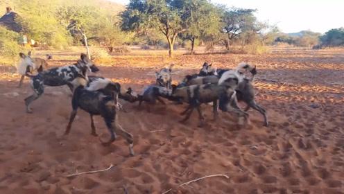 野猪喝水不幸遭遇野狗群,瞬间就被撕成碎片,镜头拍下全过程