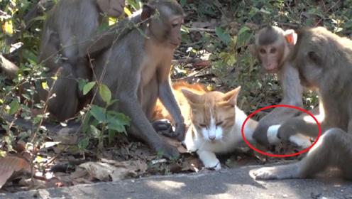 猴群抓到一只略有姿色的猫,下一秒强行撸猫,猫咪:我太难了