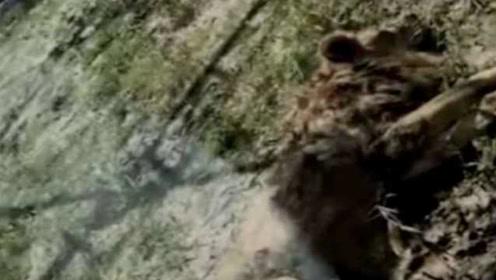 辽阳动物园回应两狮子骨瘦如材:运来前被演艺公司饿瘦的