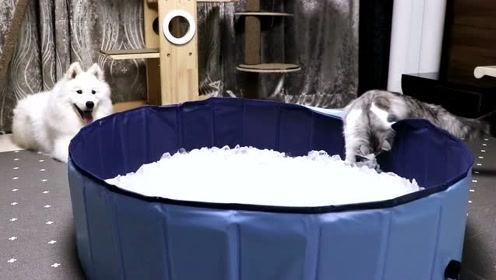 萨摩耶真的能忍受寒冷吗?如果把它放进一盆冰块里呢