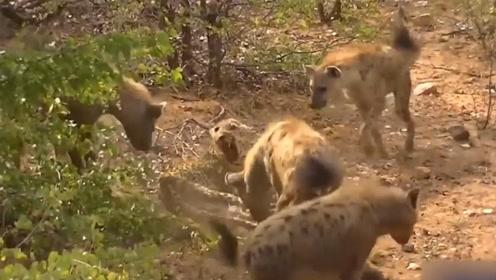 年老花豹惨遭鬣狗围攻,结果被鬣狗嫌弃没肉不吃,镜头记录全过程