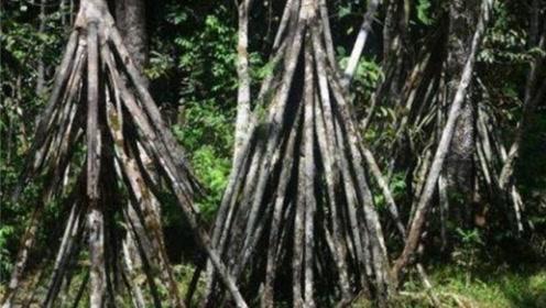 会行走的神奇树木,每年会行走将近20米,网友:会不会迷路?