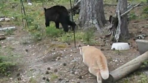 黑熊散步遇到猫,被吓得直接爬上树,猫:从没见过这么怂的熊