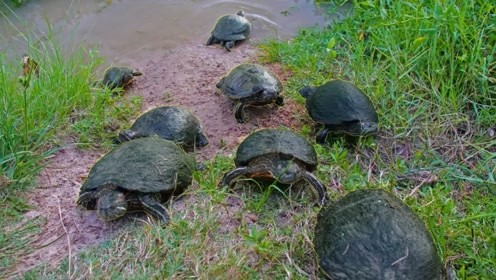 水塘里的野生龟上岸咬住老外的鱼袋大方拖走,你们很熟吗?太萌了