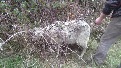 """国外有一种""""食羊树"""",能自己抓羊吃,当地人看到都会立马砍掉"""
