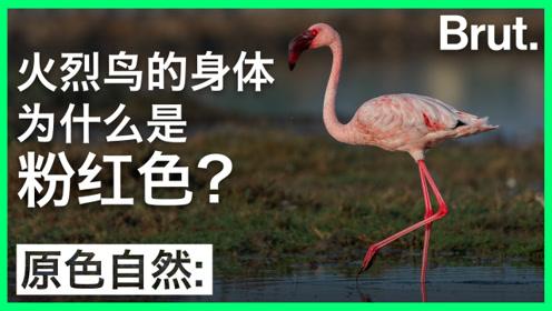 火烈鸟的身体为什么是粉红色?