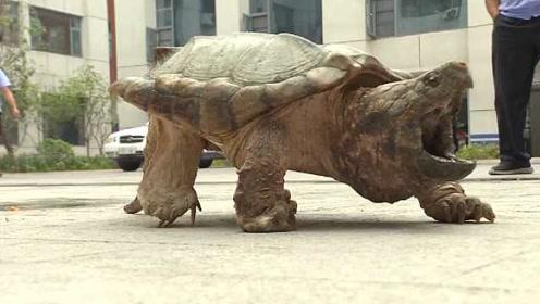 25斤鳄龟闹市独自逛街,长相凶猛吓坏市民:原来是宠物出逃
