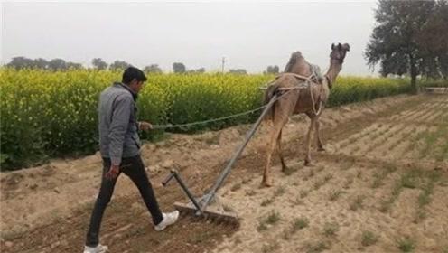 如果不是镜头拍下,你根本不敢相信,骆驼也能拿来犁地!