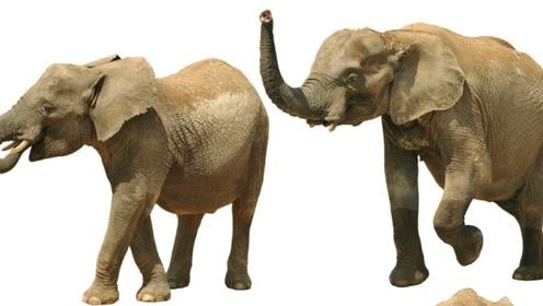 吃完一头大象需要多久?非洲人民用行动告诉你