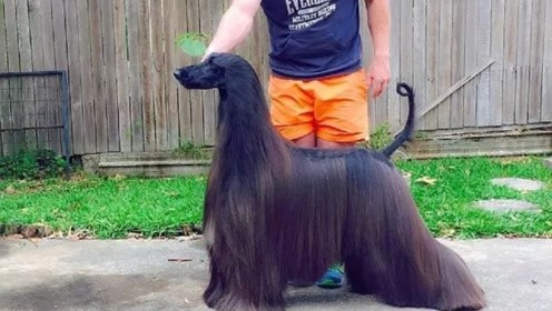 """""""世界上最漂亮的狗"""",因不愿剪毛走红网络,配种费都要13万元"""
