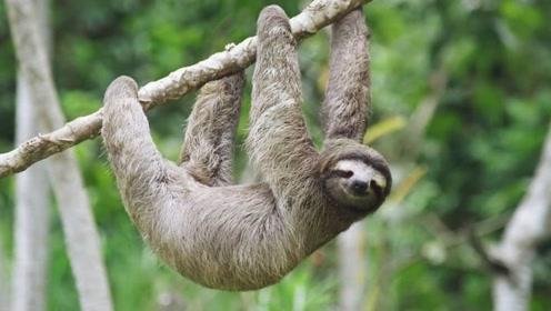 树懒行动极其缓慢,是如何做到存活了上万年,而没有灭绝?