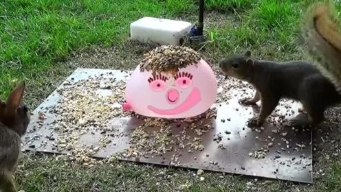 宠主将坚果放在气球上,松鼠吃的时候突然炸裂,镜头拍下全过程!