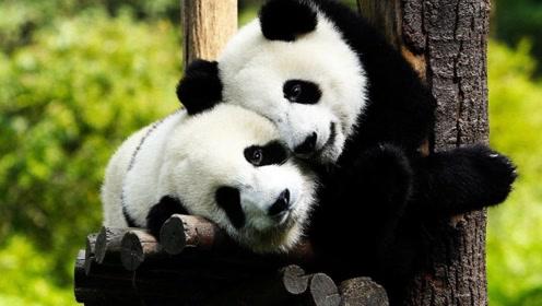 最帮国家赚钱的不是人,而是大熊猫?真有这么厉害?