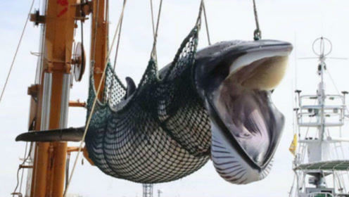 日本罔顾国际谴责,31年后重启捕鲸,已猎取鲸肉数千吨!