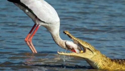 """史上最""""嚣张""""的鸟,抢鳄鱼的食物,把鳄鱼当马骑"""