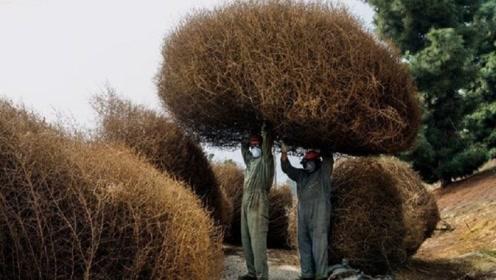 美国人恨透了的植物,在中国却成为美食,根本没机会长大