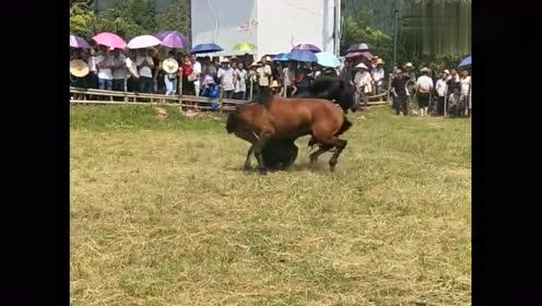 这就是农村斗马大赛,两匹斗马激烈拼斗,互不相让