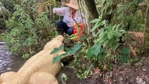 罕见白色鳄鱼像宠物一样乖 接近女管理员吃零食
