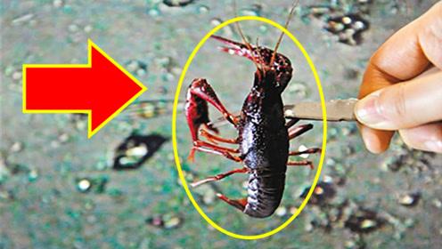 小龙虾到底有没有寄生虫?显微镜下放大1000倍,看完不淡定了!