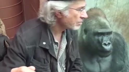 外国一老头和大猩猩聊人生,真是没想到下一秒,美女看着都笑了!