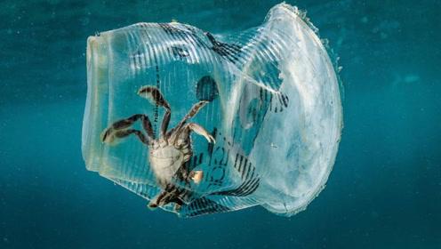 塑料污染!泰晤士河螃蟹胃里塞满卫生巾塑料,所研究螃蟹几乎每只都有