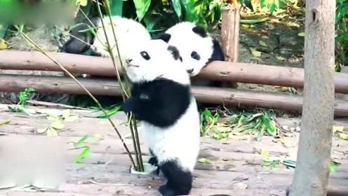 3只熊猫宝宝组团卖萌,画风可爱到爆,分分钟把人萌哭的节奏