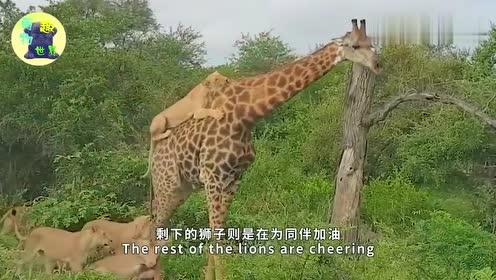 长颈鹿遭狮群围捕猎杀,却意外将其一脚踹飞,结局让人出乎意料!