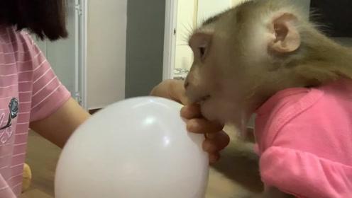 趣味萌宠:小猴子玩气球,哈哈