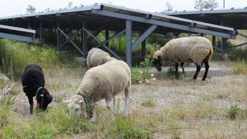 在发电站放了1万只羊,这个世界性难题,被中国轻松解决了