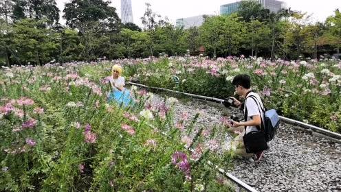 看得见广州塔的花海又上新了!这次是醉蝶花!超梦幻!