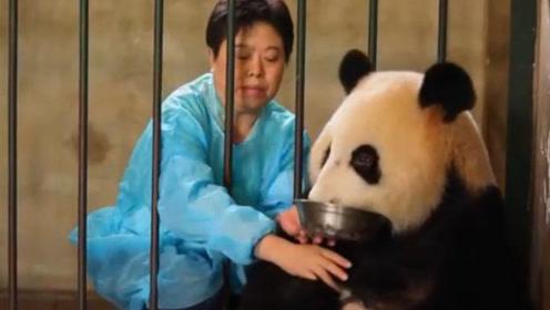 饲养员拿蜂蜜换熊猫崽,熊猫妈妈竟然直接扔出去,是亲生的吗?!