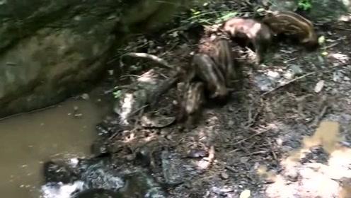 野猪妈妈被困谷底,小野猪们干着急,是不是在担心狼群来了?