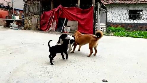 萌宠 乡下土狗三兄弟,每天的正事就是瞎胡闹,让人羡慕!