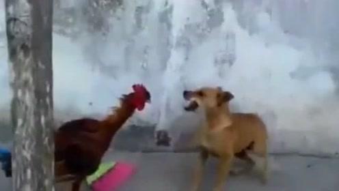 狗狗跟公鸡打架,被公鸡追着满院子跑,狗狗真怂