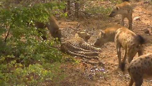 鬣狗群围攻受伤花豹,眼看花豹就要成为猎物时,结局神反转