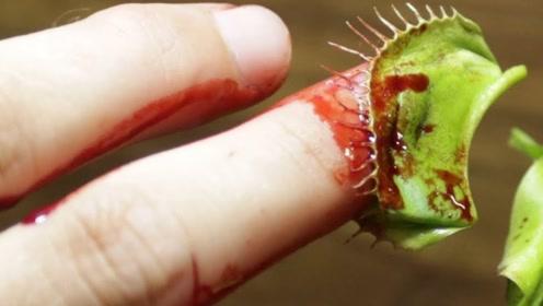 捕蝇草能消化苍蝇,那把手指头放进去会怎么样?老外作死测试瞬间悲剧了