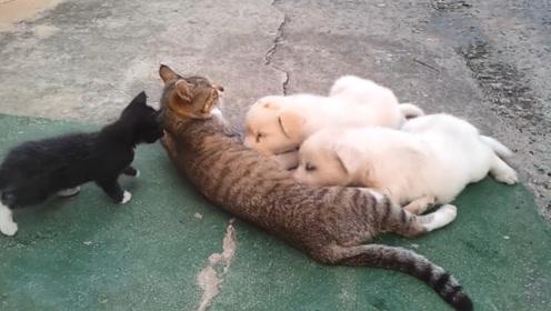 小狗把猫妈妈霸占了,小猫饿了只能眼巴巴看着,委屈极了