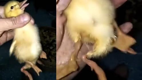 """活久见!湖北村民买到一只""""4脚鸭"""":一只鸭子4只脚掌"""