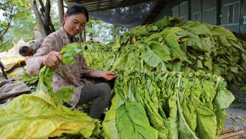 种百亩烤烟能挣多少钱?大山里种烤烟的女子说今年不挣钱