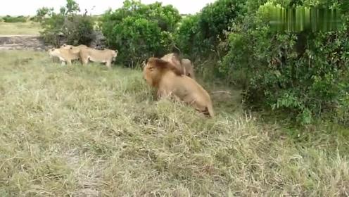 两只雄狮打架,母狮们在一旁围观助威