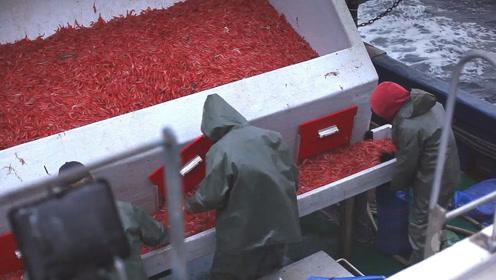 新西兰冷水虾捕捞业,小海虾颜色红红火火!