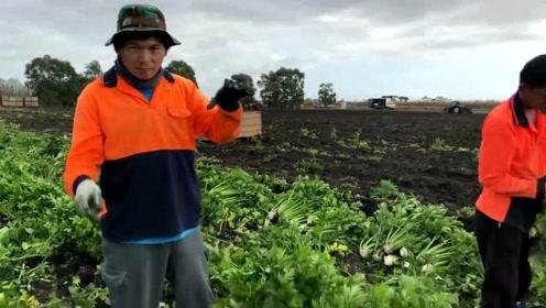 地里收割芹菜,180一天,工资高,就是有点累人