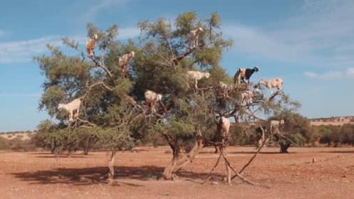 羊居然会上树,这年头为了吃饭,连羊都学会爬树!