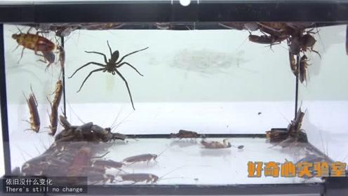实验:把一只凶猛的大蜘蛛放到100只蟑螂堆里会怎么样?