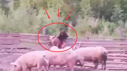 一只熊闯进农场,抓住一只猪就准备跑,结果忍住不要笑