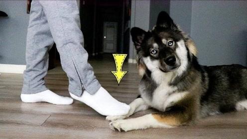 反复去踩狗狗的脚,会发生什么样的事?镜头记录全画面!