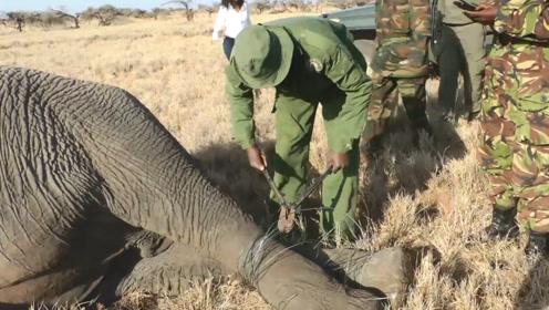 大象双腿被铁丝绑住,躺在地上奄奄一息,下一秒画面让人感动